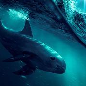 Sea of Shadows :le film produit par DiCaprio bientôt sur National Geographic