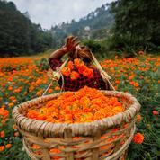 La pause photo du jour: la magnifique cueillette des fleurs de souci au Népal