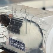 Les rats apprennent mieux à conduire dans un environnement stimulant