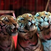 Paris veut interdire les animaux sauvages dans les cirques