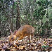 Réapparition d'une «souris-cerf» que l'on croyait disparue