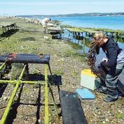 La science au chevet des huîtres malades