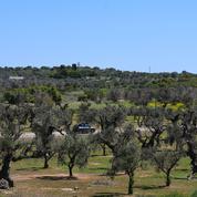 Dans les Pouilles, à la recherche de solutions pour les oliviers ravagés