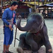 Tradition devenue attraction touristique, les éléphants de Thaïlande en quête d'avenir