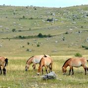 De la Lozère à la Mongolie, l'épopée des chevaux Przewalski