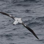 Des albatros pour repérer la pêche illégale