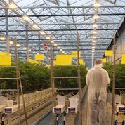 Multinationales contre agriculteurs français: qui va gagner la bataille du cannabis thérapeutique?