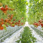 La tomate tricolore menacée par un virus