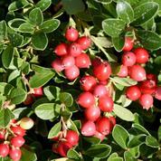 Canneberge ou cranberry, délicieuse en jus ou en confiture