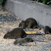 Toulouse: la mairie alertée après la découverte d'un rat dans la cuisine centrale municipale