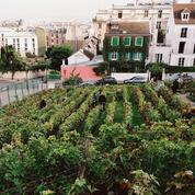Des vignes sur le bitume parisien