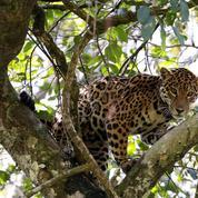 Protection renforcée pour le jaguar, le requin océanique et l'éléphant d'Asie