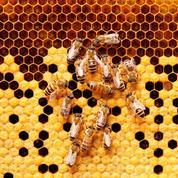 Quand les abeilles dansent pour communiquer