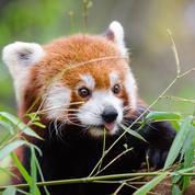 Des scientifiques affirment qu'il existe deux espèces de pandas roux