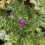Chardon-Marie, fleurs pourpres et feuillage marbré