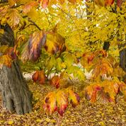 Parrotie de Perse, l'arbre de fer