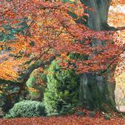 Hêtre d'Europe, arbre de lumière