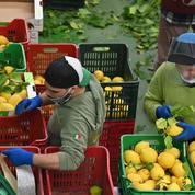 Faute de bras, la pénurie de fruits et légumes menace l'Italie
