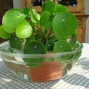 Arrosage: est-il judicieux de tremper une plante en pot?