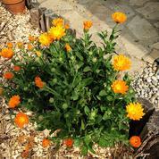 Soucis et capucines: faut-il les semer tous les ans?
