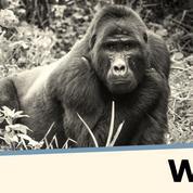«Les grands singes pourraient bientôt disparaître»