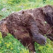 L'ours, toujours mal vu dans les Pyrénées