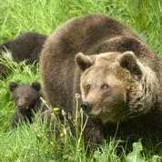 La cohabitation avec les ours est-elle possible?