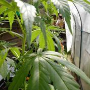 «Circuits courts», distribution facile: la production française de cannabis en plein essor