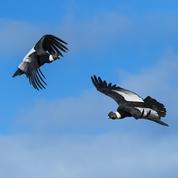 Les vols planés prodigieux du condor des Andes