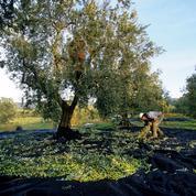 Au pays de Giono, les oliviers des hauts plateaux