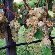 Le vin italien sauvé cette année par levin de table