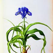 L'iris, or bleu