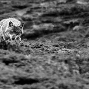 Alpes: les éleveurs face au grand retour du loup