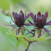 Calycanthe, l'arbre aux fleurs de porcelaine
