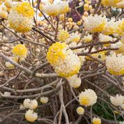 Edgeworthia, la «plante à papier»