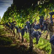 Petite production de vin attendue cette année