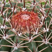 Melocactus ou «cactus melon»