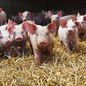 Après une embellie, la filière porcine de nouveau sous pression