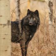 Sur les traces des loups échappés de la vallée de la Vésubie