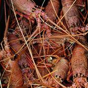 Grâce à la Chine, les Australiens peuvent se gaver de homards