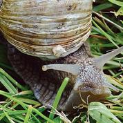 Ralentis par le Covid-19, les producteurs d'escargots continuent d'en baver