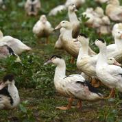Grippe aviaire: la lutte devrait se durcir