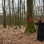 En forêt, les bûcherons abattent déjà les chênes centenaires qui répareront Notre-Dame