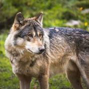 Un loup aperçu près de Strasbourg suscite l'émoi des riverains