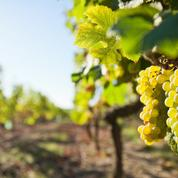 En Gironde, des viticulteurs diversifient leurs cultures