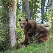 De plus en plus d'ours peuplent les Pyrénées