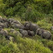 Six mois après leur arrivée, les éléphants venus d'Ouganda s'épanouissent en RDC