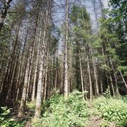 Frappée par un parasite, la forêt de Verdun en grand danger