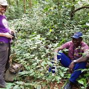 En Sierra Leone, la redécouverte d'un café perdu suscite l'espoir