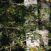 Les arbres aussi deviennent «séniles»